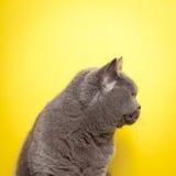 Sidosikt av den gråa katten Arkivbild