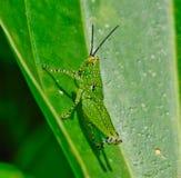 Sidosikt av den gröna gräshoppan med den svarta pricken som hänger på bladet Royaltyfri Fotografi