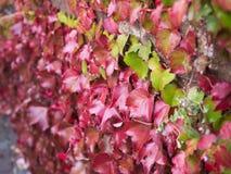 Sidosikt av den gröna murgrönan i röda Ivy Leaves Climbing arkivfoto