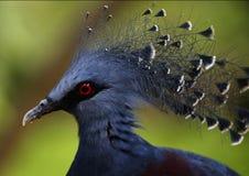 Sidosikt av den viktorianska krönade duvan i Kuala Lumpur Bird Park, Malaysia Arkivfoton