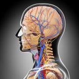 Sidosikt av det male head cirkulations- systemet stock illustrationer
