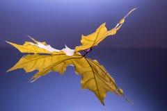 Sidosikt av det reflekterade gula bladet Arkivbilder