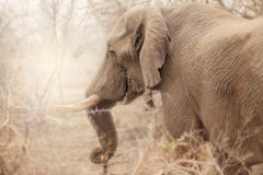Sidosikt av elefanten i Sydafrika, krugernationalpark Royaltyfri Bild
