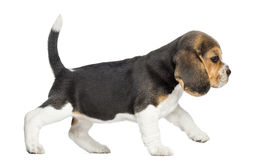 Sidosikt av en beaglevalp som går som isoleras Royaltyfri Bild
