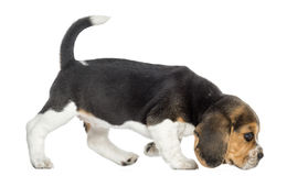 Sidosikt av en beaglevalp som går som sniffar golvet Arkivbild