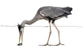 Sidosikt av en Grey Heron som fångar en fisk under vattenlinje Arkivfoto