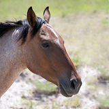 Sidosikt av en Roan Colored Horse Arkivfoto