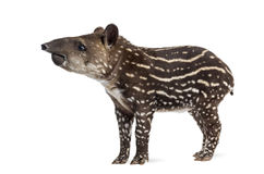 Sidosikt av en ung söder - amerikansk tapir som isoleras på vit Royaltyfri Bild