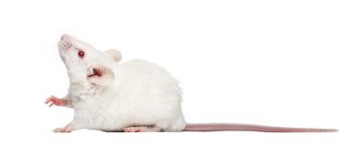 Sidosikt av en vit mus för albino som ser upp, Mus musculus Royaltyfria Foton