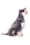 Sidosikt av en vuxen schnauzerhund Arkivbild