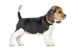 Sidosikt av ett beaglevalpanseende som isoleras Royaltyfri Bild