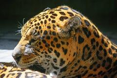 Sidosikt av ett jaguarhuvud Royaltyfri Fotografi