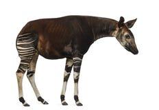 Sidosikt av ett okapianseende som ner ser, Okapiajohnstoni Arkivfoto