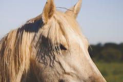 Sidosikt av hästframsidan och man fotografering för bildbyråer