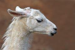 Sidosikt av huvudet av en vit lama med långa snärtar på oskarp bakgrund royaltyfri foto