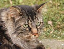 Sidosikt av inhemska medelHaired Tabby Cat Royaltyfria Bilder