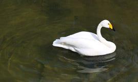 Sidosikt av isolerad simning f?r Whoopersvan arkivfoton