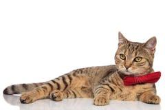 Sidosikt av ligga för veck för flott strimmig katt brittiskt arkivfoto