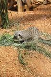 Sidosikt av meerkat Arkivfoton