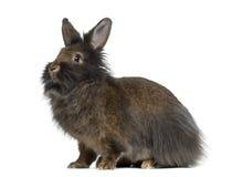 Sidosikt av Mini Lop Rabbit Royaltyfri Fotografi