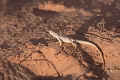 Sidosikt av reptilen i öknen arkivbild