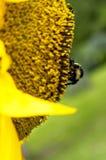 Sidosikt av solrosen och biet Royaltyfri Bild