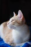 Sidosikt av strimmig kattkatten Arkivbild