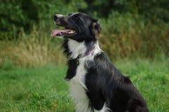 Sidosikt av svartvitt hundsammanträde på det gröna gräset under sommardag Fotografering för Bildbyråer