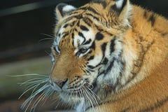 Sidosikt av tigerhuvudet. Fotografering för Bildbyråer
