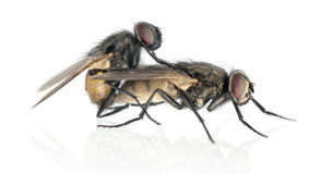 Sidosikt av två husflugor som kopulerar, Muscidae som isoleras Arkivfoto