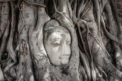 Sidosikten av det forntida buddha huvudet i Banyanträd rotar på Wat Maha Arkivbilder