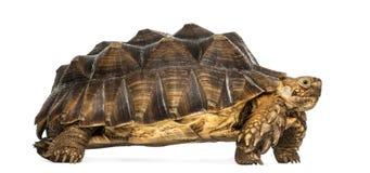 Sidosikten av en afrikan sporrade sköldpaddaanseende Fotografering för Bildbyråer