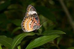 Sidosikten av en monark stapplar fjärilen med stängda vingar som fotograferas i en burk royaltyfri foto