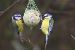 Sidosikten av två trädgårds- fåglar sätta sig på förlagematare Royaltyfri Bild