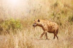 Sidostående av den prickiga hyenan i gräset Arkivbild
