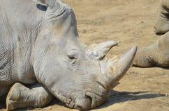 Vila noshörning Royaltyfri Fotografi