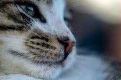 Sidostående av den vita kattkattungen för strimmig katt royaltyfri foto