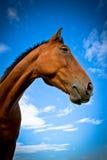 Sidostående av en häst med blåa himlar och moln Arkivfoton