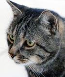 SIDOSTÅENDE AV STRIPEY GREY CAT royaltyfri bild
