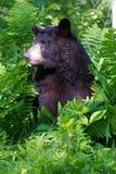 Sidostående för svart björn i vertikalt fotografi royaltyfri fotografi
