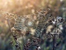 Sieć pająk przeciw wschodowi słońca w polu zdjęcie royalty free