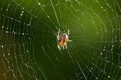 sieć pająka ilustracyjna wektora Fotografia Royalty Free