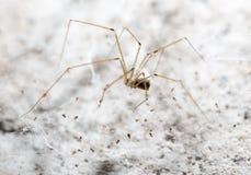 sieć pająka ilustracyjna wektora Makro- Fotografia Royalty Free