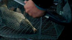 Sieć rybacka Żywa ryba łapiąca w sieci rybackiej Dobry chwyt na lato połowie zbiory wideo