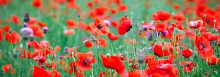 Sieć sztandaru pole makowi kwiaty, wiosny lata natury tła pojęcie Inspiracyjny i relaksujący kwiat natury tło Fotografia Stock