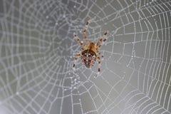 Sieć z dewdrops i pająkiem zdjęcie royalty free