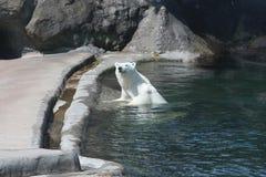 Sie-Bär Nika im Moskau-Zoo Stockfoto