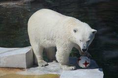 Sie-Bär Nika prahlt mit Extraktion einen deutschen Ball an einem Moskau-Zoo Stockfotos