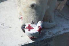 Sie-Bär Nika zerfrisst Deutschland-Ball im Moskau-Zoo Stockbild