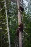 Sie-Bär und Bär-Junge, welche die Gefahr, erhalten auf einer Kiefer gerochen werden stockfotografie
